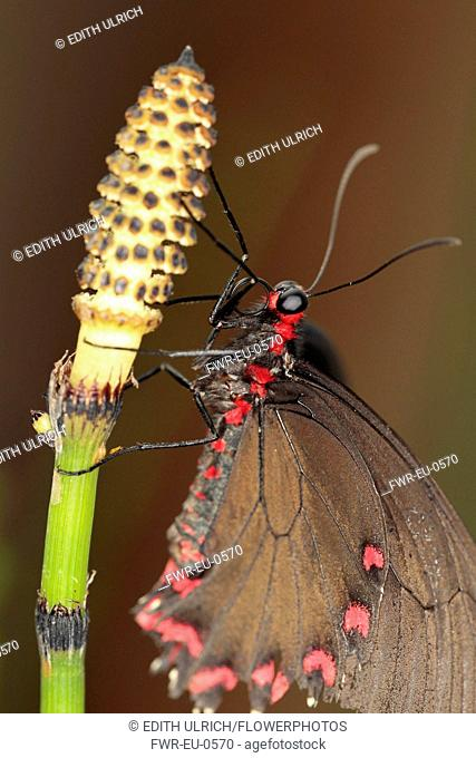 Field horsetail, Equisetum arvense, Close up of Butterfly on a flowering stem