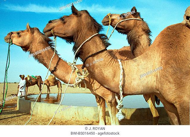 dromedary, one-humped camel (Camelus dromedarius), leashed dromedaries at a waterplace, working animals, India