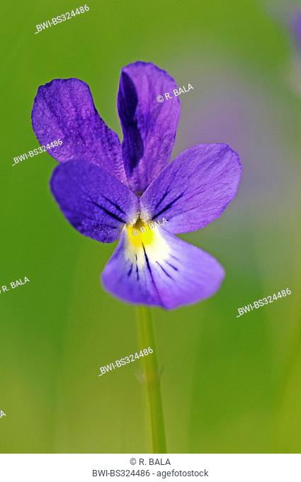 blue zinc violet (Viola guestphalica), single flower, westphalian endemit, Germany, North Rhine-Westphalia