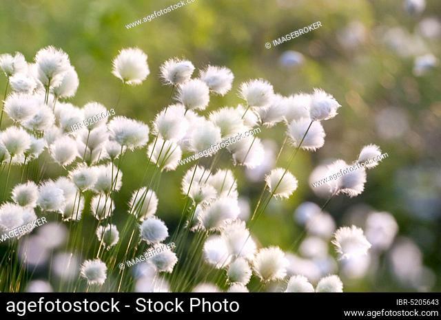 Hare's-tail cottongrass (Eriophorum vaginatum), Lower Saxony, Germany, Europe