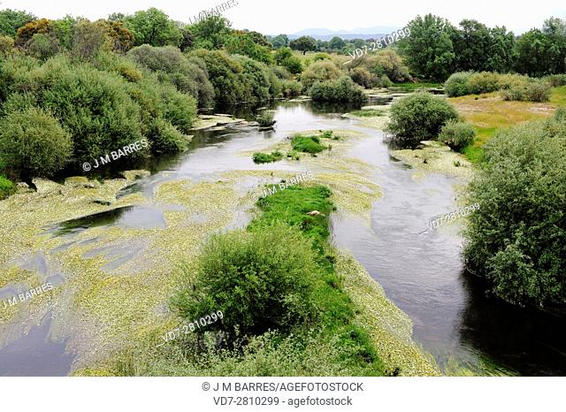 Tietar river with willows and common water-crowfoot. Border Avila-Toledo, Castilla y Leon, Castilla-La Mancha, Spain