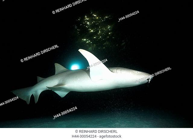 Nurse Shark at Night, Nebrius ferrugineus, Felidhu Atoll, Maldives