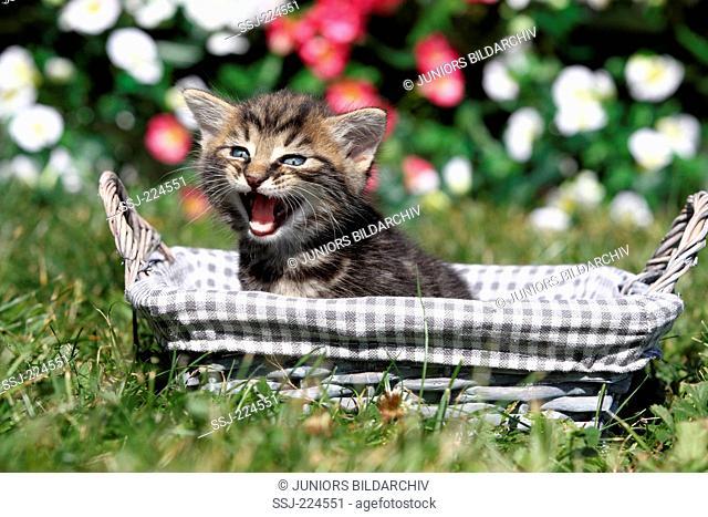 Domestic cat. Kitten (6 weeks old) sitting in a basket in a garden, meowing. Germany