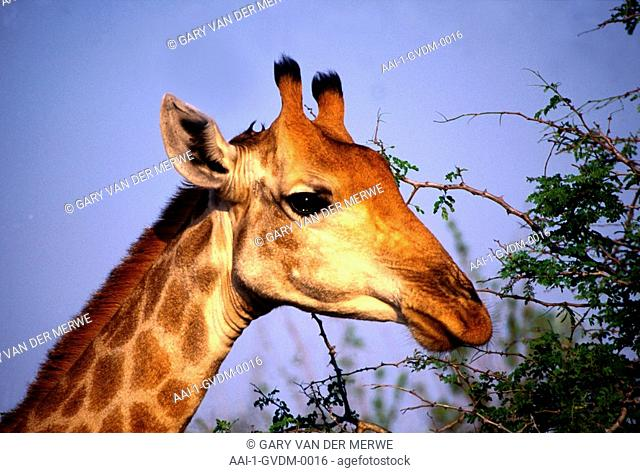 Giraffe, Kruger National Park, Mpumalanga, South Africa