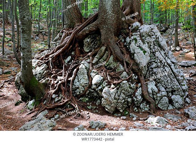 Old spruce, Karawanks, Alps, Slovenia