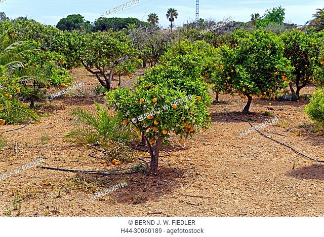 Spain, Valencia, Alcoceber, Camino del Campamento Jaume I, orange trees, orange trees, plantation, agriculture, trees, plants, gardens, ways, place of interest