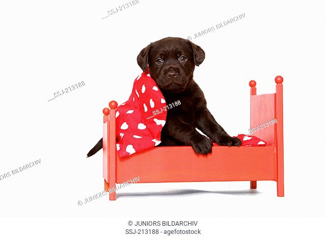 Labrador Retriever. Puppy (6 weeks old) sitting in a red dolls bed. Studio picture against a white background. Germany