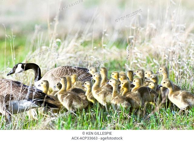Large family of Canada Geese and Goslings in spring, Oak Hammock Marsh, Manitoba, Canada