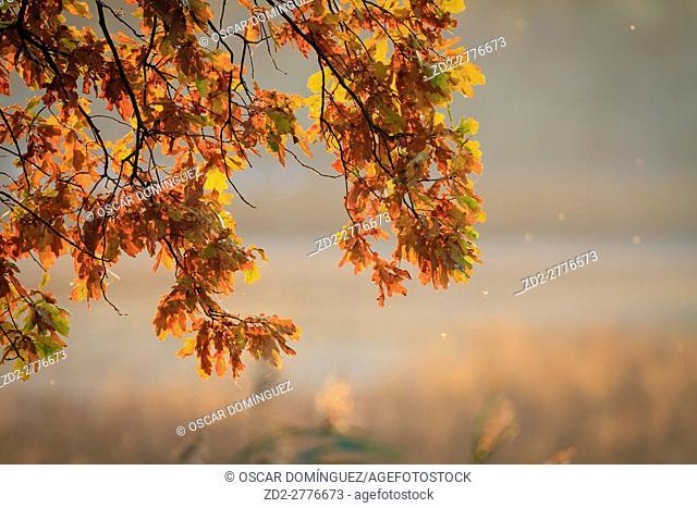 Pedunculate oak (Quercus robur) backlit by evening light. Milicz Ponds Nature Reserve. Lower Silesia. Poland