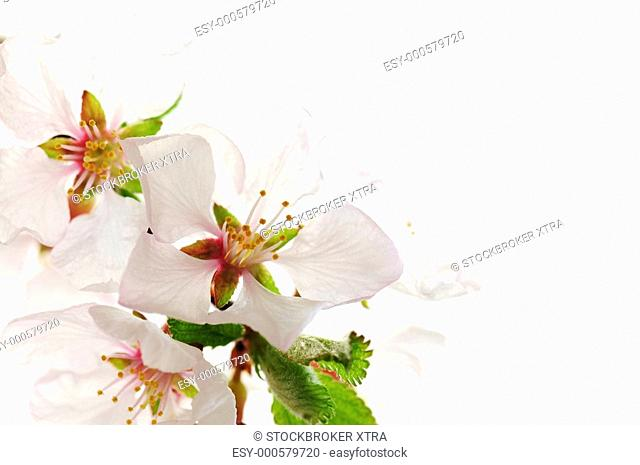 Macro of pink cherry blossoms isolated on white background
