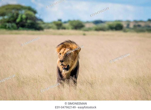 Male Lion in the high grass in the Central Khalahari, Botswana