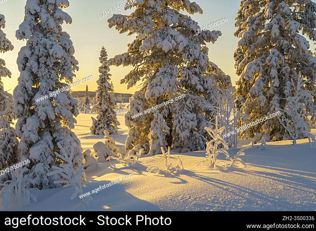 Winter landscape in afternoon light with nice color in the sky, snow on the trees, Gällivare county, Swedish Lapland, Sweden