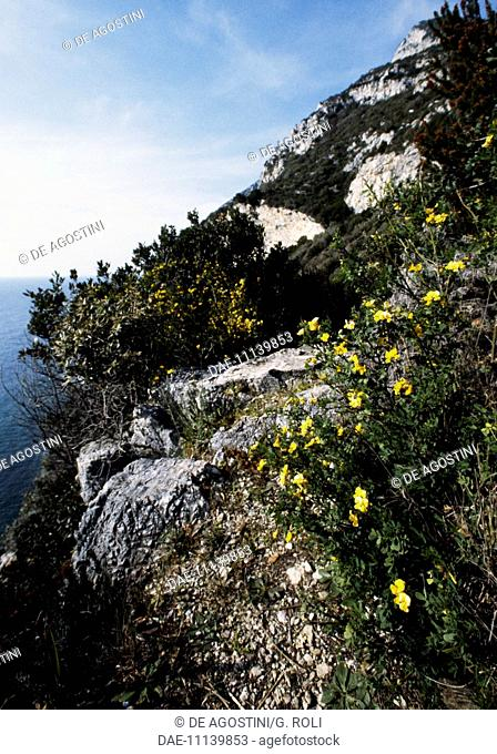 Spiny Broom (Calicotome villosa), National Park of Circeo, Lazio, Italy