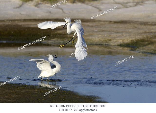 White heron (Ardea alba), fighting, Siesta Key, Sarasota, Florida, USA