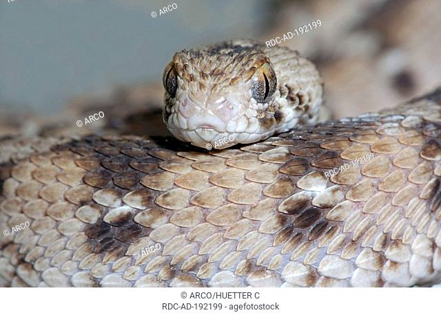 West African Carpet Viper, Echis ocellatus, Ocellated Carpet Viper