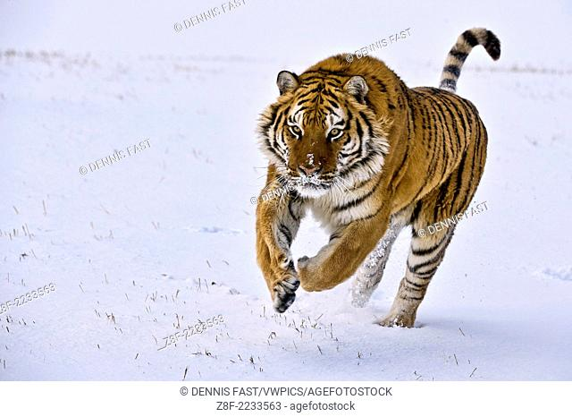 Siberian tiger charges through the snow