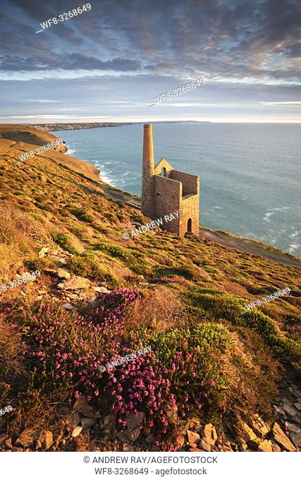 Heather next to the footpath above Towanroath Engine House at Wheal Coates, near St Agnes on the North Coast of Cornwall