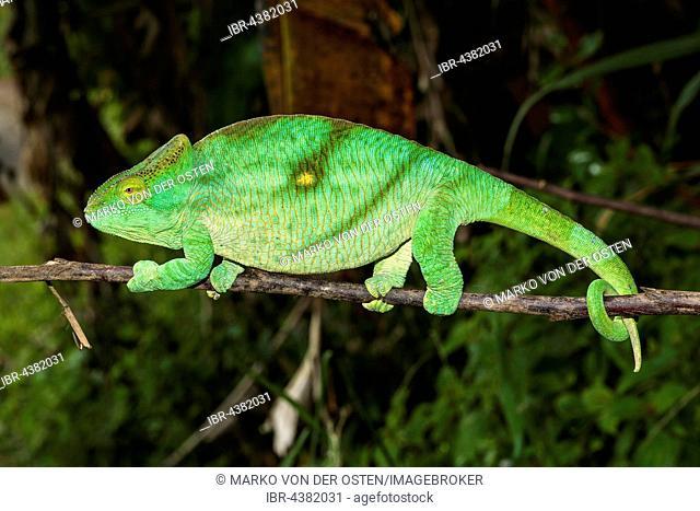 Parson's chameleon (Calumma parsonii parsonii), female, Andasibe-Mantadia National Park, Alaotra-Mangoro, Madagascar