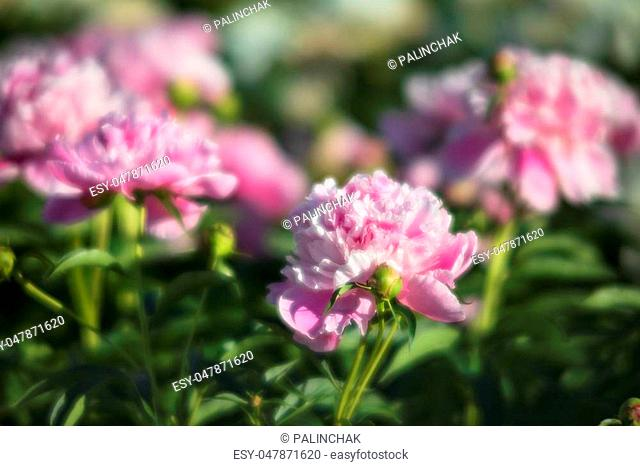 Soft focus image of pink and white peonies in the garden. Blooming pink and white peonies. Selective focus. Shallow depth of field