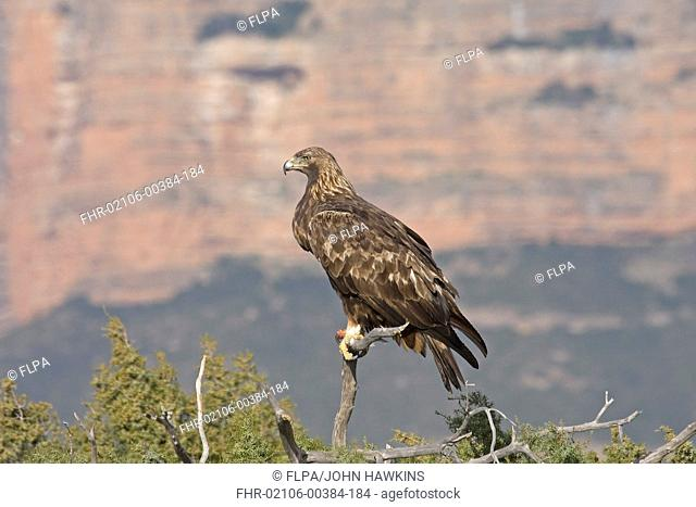 Golden Eagle Aquila chrysaetos homeryi adult, perched on branch, Pyrenees, Aragon, Spain, october