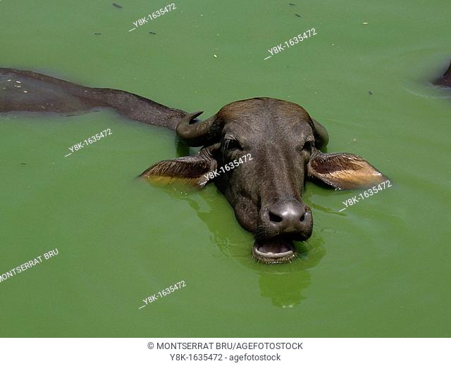 Water buffalo bathing in green water in Anjuna, Goa, India
