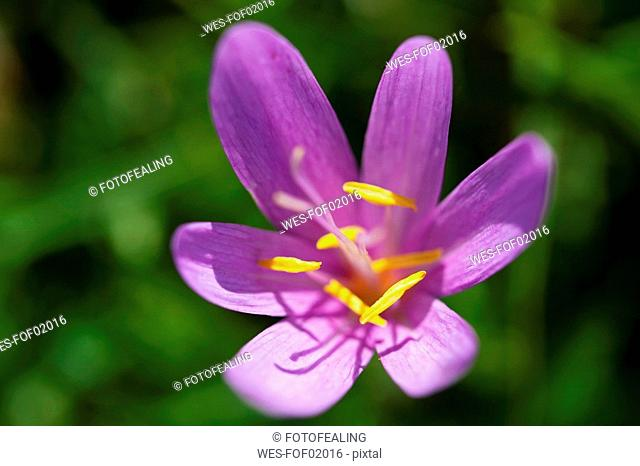 Germany, Bavaria, Meadow saffron Colchicum autumnale, close-up