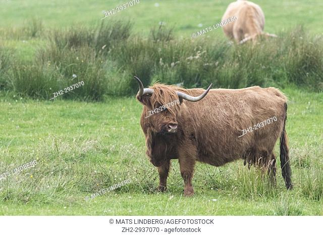 Highland cattle standing and turning the head away from the camera, Islay, Scotland