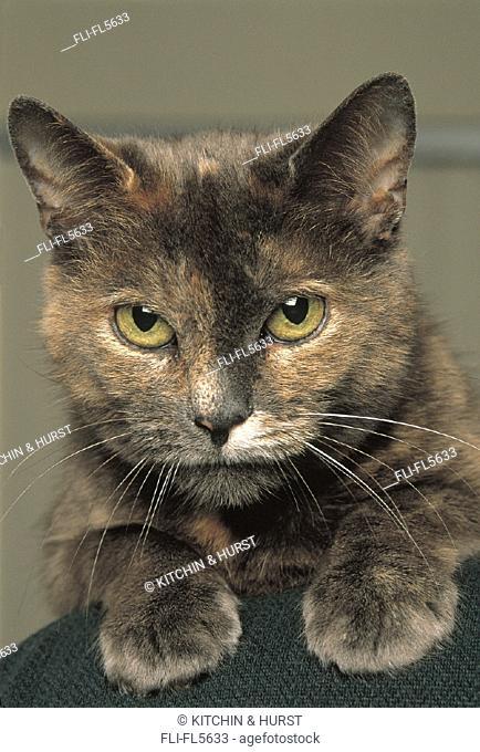 Close-up, Calico Cat