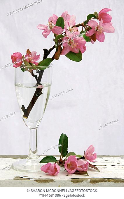 Cut pink Blooms from crabapple tree in wine glass on shelf, Vermont