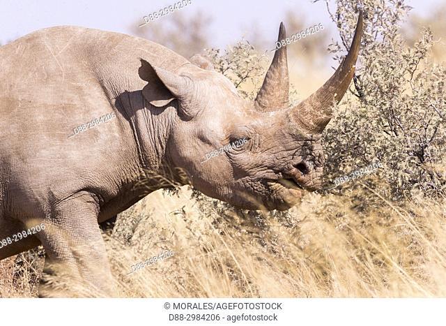 Africa, Southern Africa, South African Republic, Kalahari Desert, Black rhinoceros or hook-lipped rhinoceros (Diceros bicornis), adult female, 3O years old