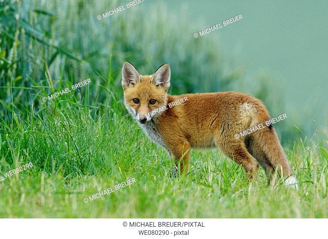 Red fox, Cub, Vulpes vulpes, Germany