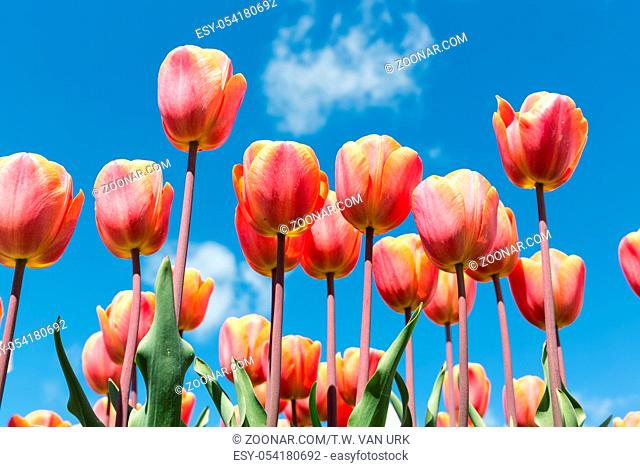 Beautiful bouquet of colorful tulips in spring time