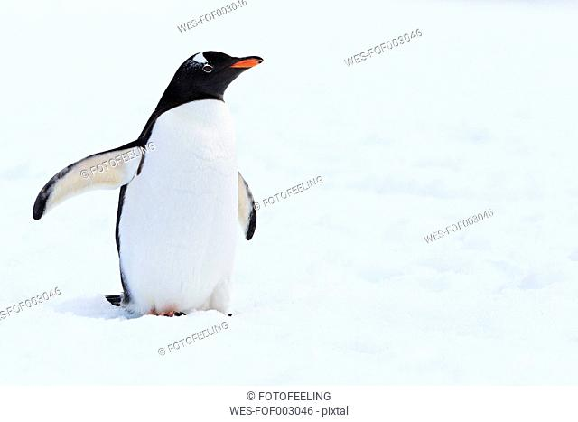 South Atlantic Ocean, Antarctic, Antarctic Peninsula, Gerlache Strait, Gentoo penguin