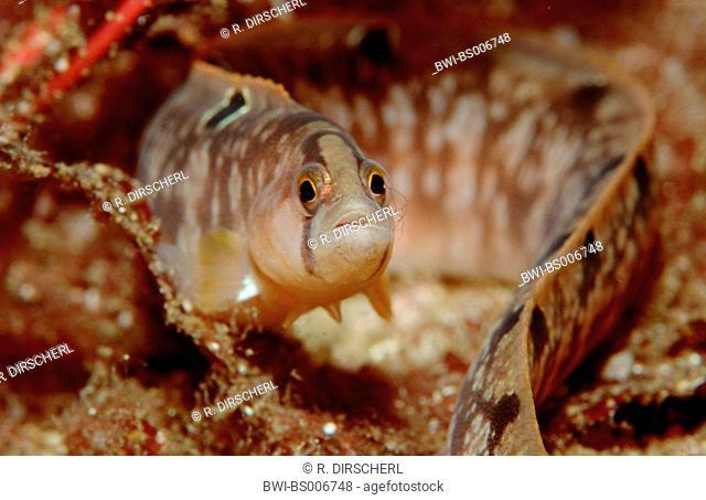 eel pout, viviparous blenny (Zoarces viviparus), Norway, Atlantischer Ozean