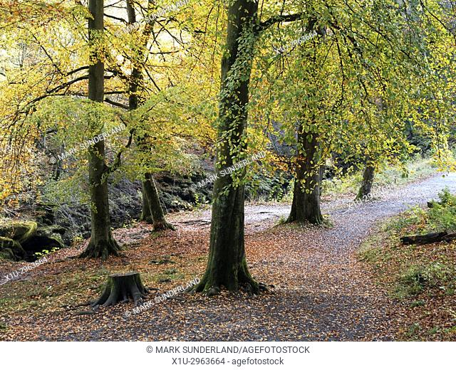 Autumn Trees and Fallen leaves on the Path in Strid Wood at Bolton Abbey North Yorkshire England