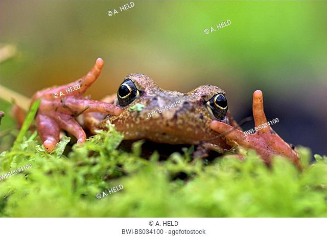 common frog, grass frog (Rana temporaria), phobic posture, Germany, Odenwald, Baden-Wuerttemberg, Gammelsbachtal