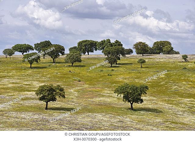 holm oak grove in blooming meadow, near Beja, Alentejo region, Portugal, southwertern Europe