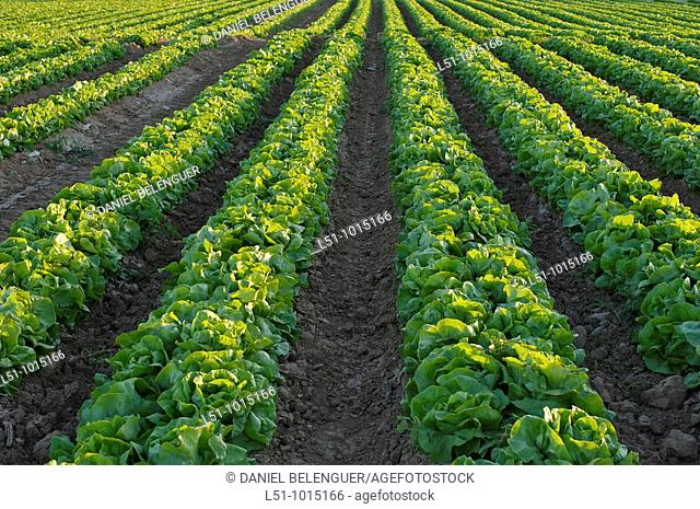 Intensive farming of lettuces in Torrevieja, Alicante, Spain