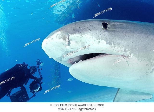 Large tiger shark comes in close, Bahama Bank, Caribbean
