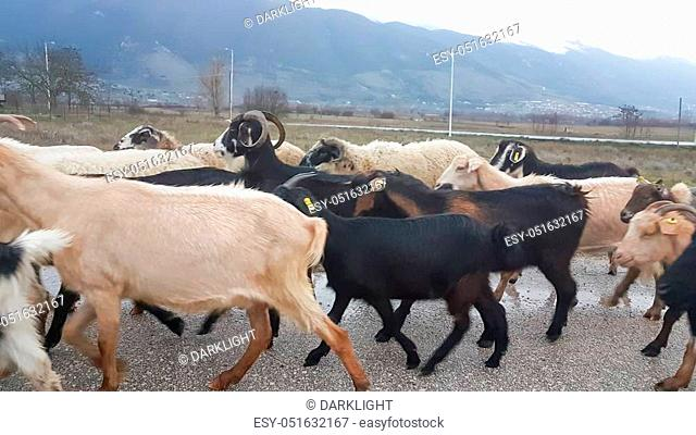 goats many in the road heads