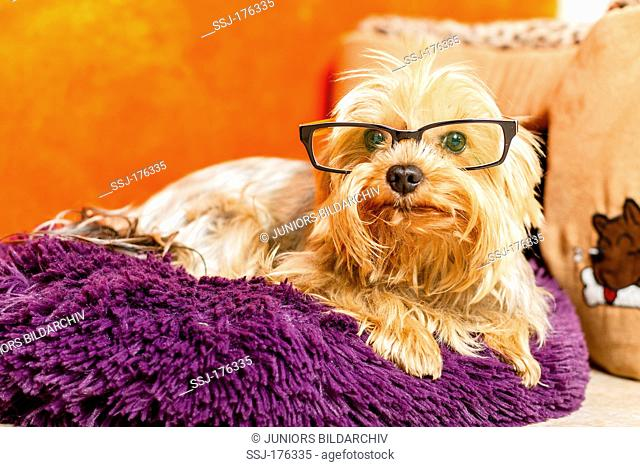 Yorkshire Terrier with spectacles lying on a cushion