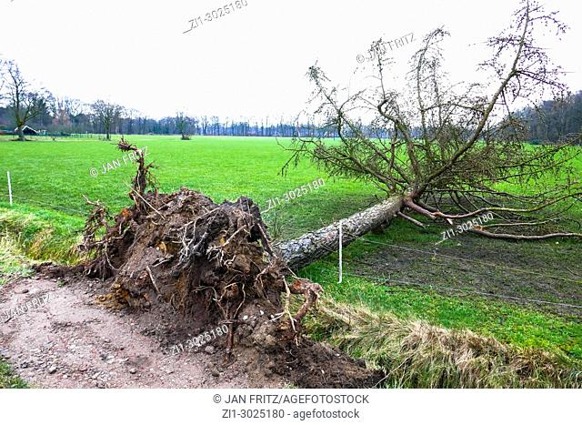 by storm uprooted tree near farmland in Gelderland, Holland