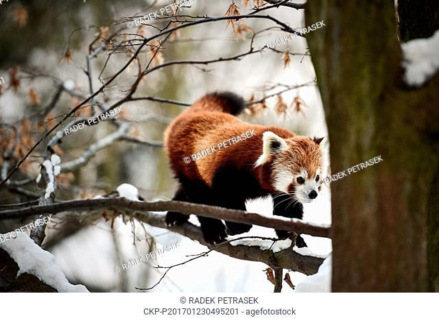 Red panda, Ailurus fulgens, enjoys a snowy day in Liberec Zoo, Czech Republic, January 23, 2017. (CTK Photo/Radek Petrasek)