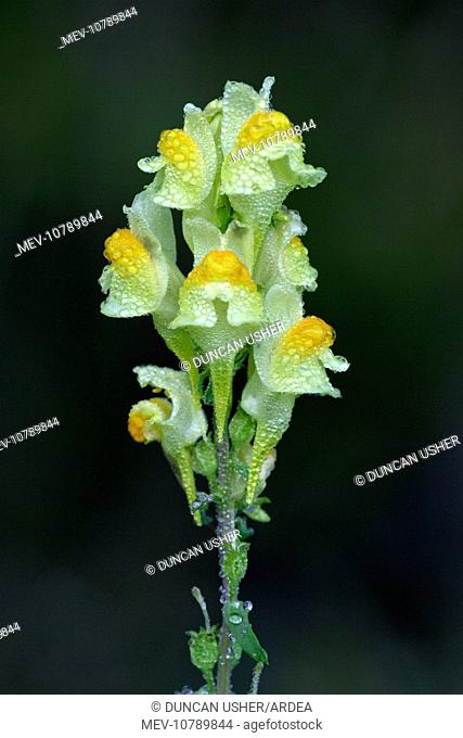 Common Toadflax - flowers covered with morning dew, Autumn (Linaria vulgaris)