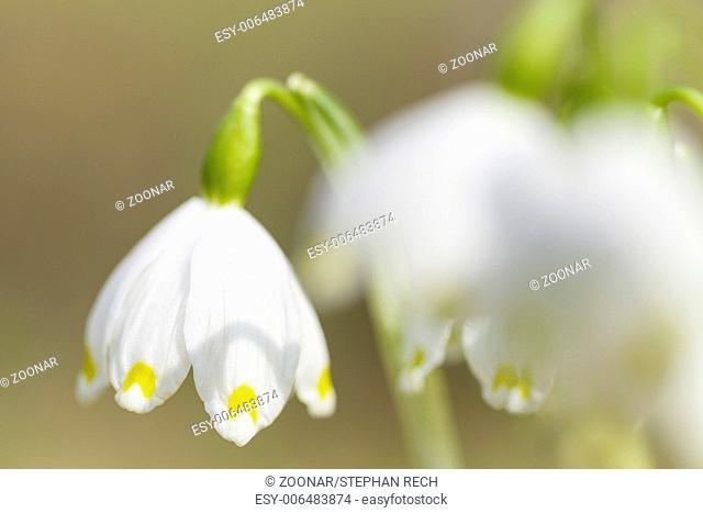 Snowflake (Leucojum vernum)