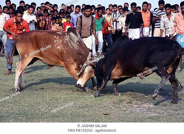 Traditional bull fight at Bolir Hat Thousand and thousand people from different part enjoy this game Chittagong, Bangladesh December 2008