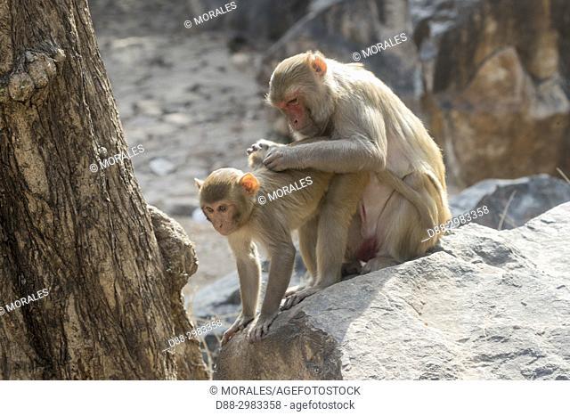 Asia, India, Rajasthan, Ranthambore National Park, Rhesus macaque or Rhesus monkey (Macaca mulatta mulatta)