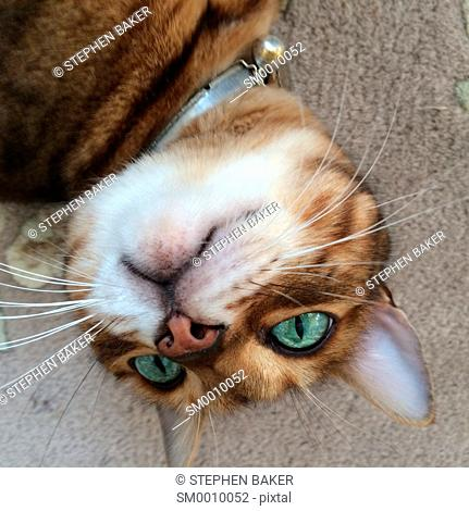 Bengal cat with bright green eyes laying upside down and staring into space