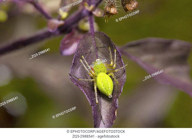 Green lynx spider, Peucetia sp. Pondicherry, Tamil Nadu, India. Description : this spider is green in colour belongs to family Oxyopidae