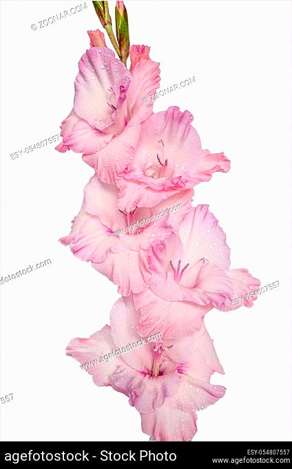Single gentle pink gladiolus flower with water drops on petals after rain, close up, isolated on a white background
